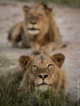 lion (38 of 29)