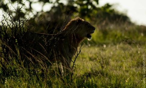 lion (43 of 29)