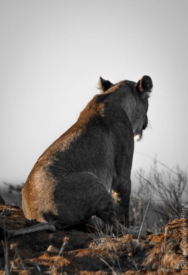 lion (45 of 29)