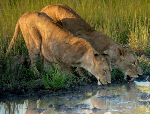 lion (46 of 29)