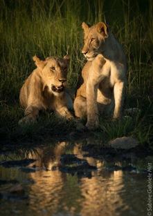 lion (47 of 29)