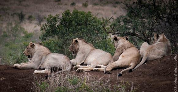 lion (5 of 25)