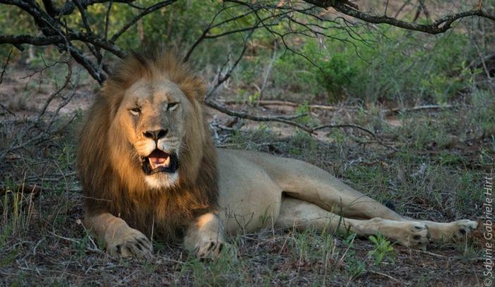 lion (50 of 29)
