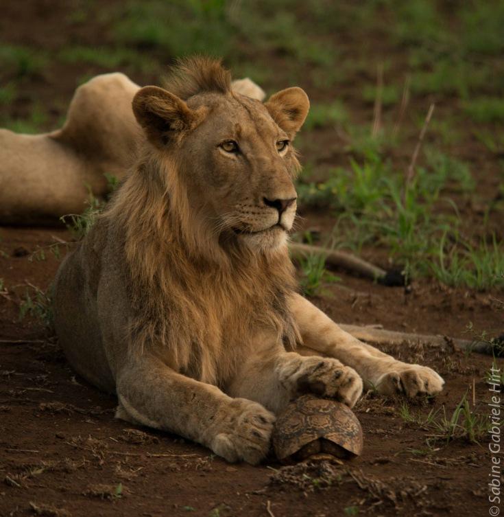 lion (52 of 29)