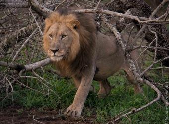 lion (54 of 29)
