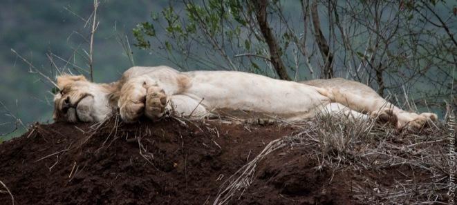 lion (9 of 25)