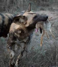 wilddog 1046x1200