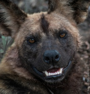wilddog 1137x1200