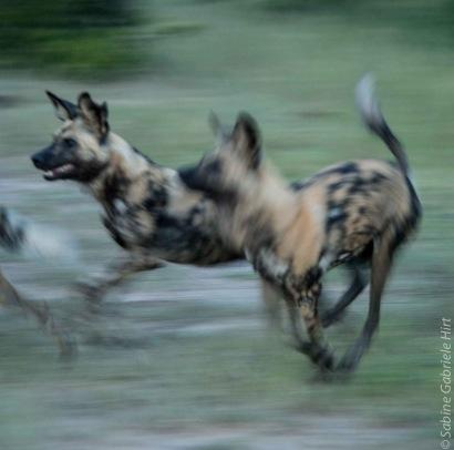 wilddog 1200x1191