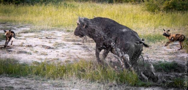 wilddog 1200x578