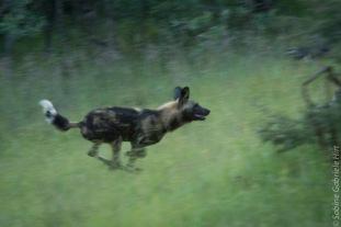wilddog 1200x801