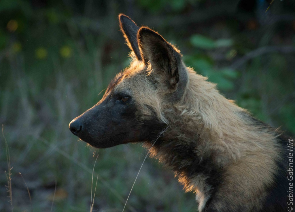 -> Wild Dogs
