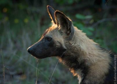 -> Wilddogs