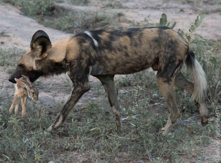 wilddog 1200x885
