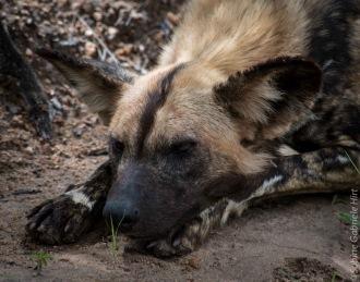 wilddog 1200x945