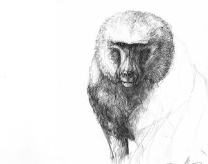 Olive Baboon, Pencil, 2015, Lake Manyara