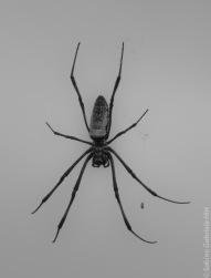 Bart Spider (1 of 1)
