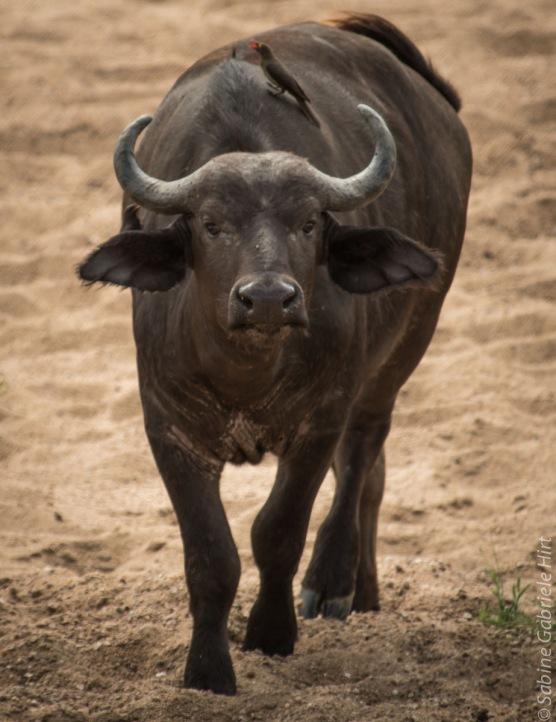 buffalo (1 of 9)