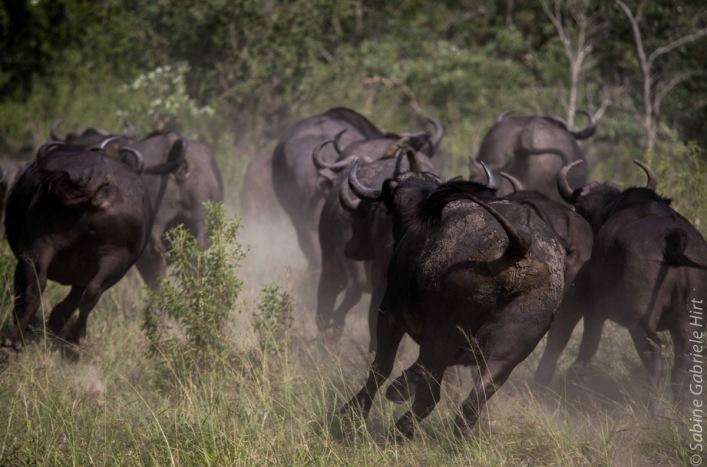 buffalo (3 of 9)