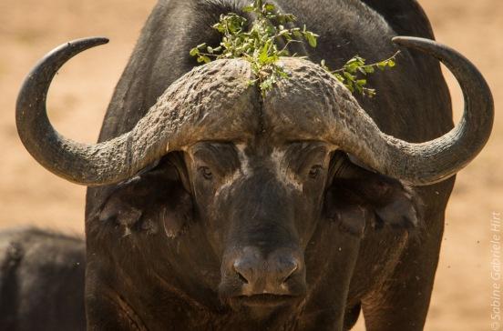 buffalo (4 of 9)