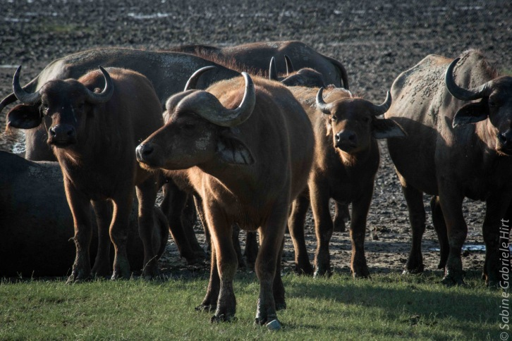 buffalo (7 of 9)