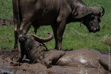 buffalo (8 of 9)
