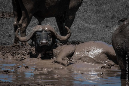 -> Buffalos - Uniquely Black