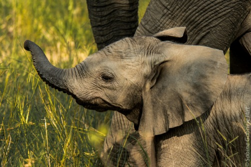 elephant (11 of 22)