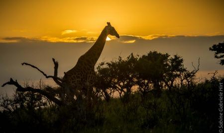 giraffe (1 of 6)