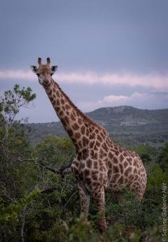 giraffe (2 of 6)