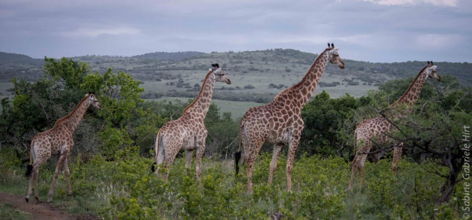 giraffe (3 of 6)