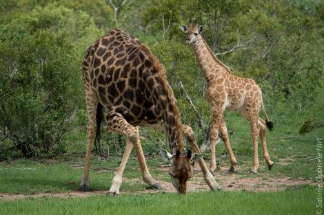 giraffe (4 of 6)