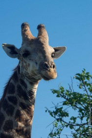 giraffe (5 of 6)