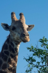 giraffe (5 of 6)