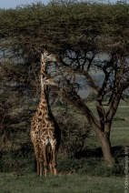 giraffe (6 of 6)