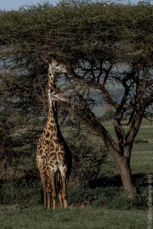giraffe (6 of 6)