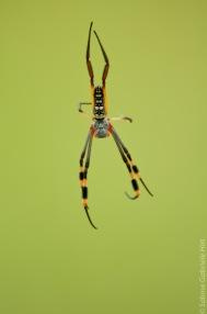 Golden Orb-community spider (1 of 2)