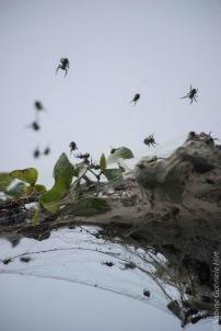Golden Orb-community spider (2 of 2)