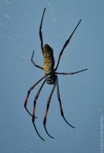 Golden Orb Spider (2 of 2)