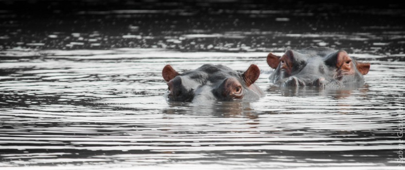 hippo (1 of 4)
