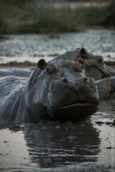hippo (2 of 4)