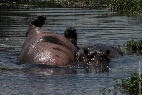 hippo (3 of 4)