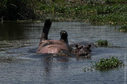 hippo (4 of 4)
