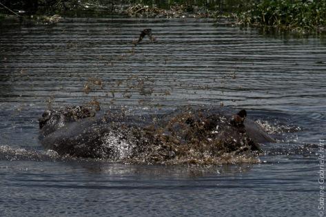 hippo (5 of 1)