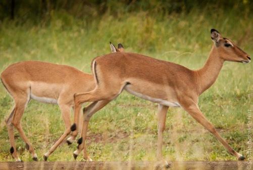 impala (1 of 18)