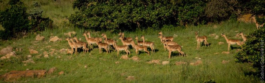 impala (10 of 18)