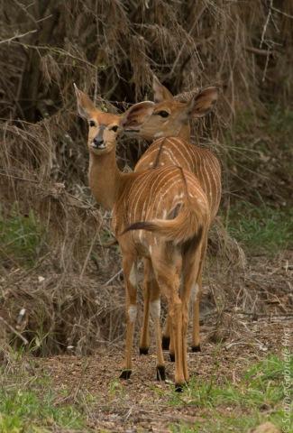 impala (11 of 18)
