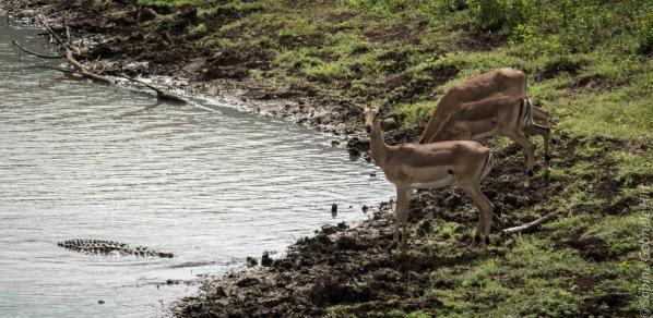 impala (12 of 18)