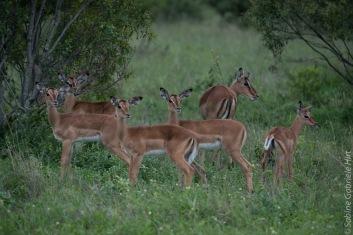 impala (15 of 18)