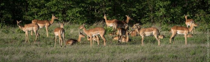 impala (16 of 18)